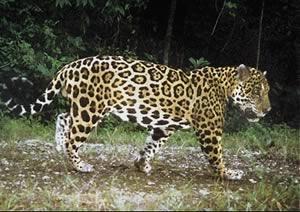 Jaguar, Chan Chich Reserve