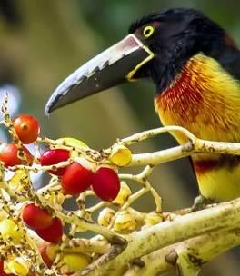 Toucan, Chaa Creek Reserve