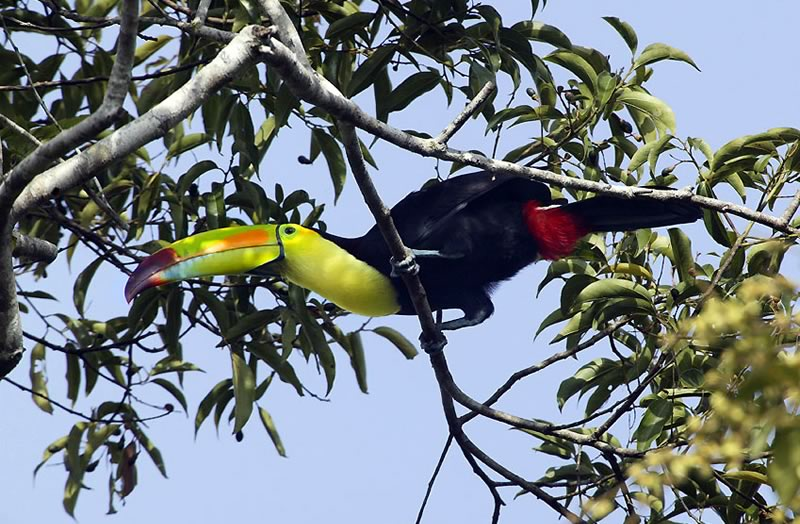 Toucan Bird, Chan Chich