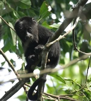 Howler Monkey Baby