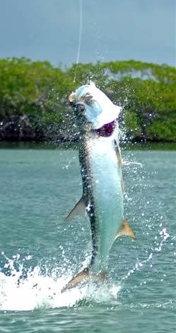Turneffe Tarpon Fishing
