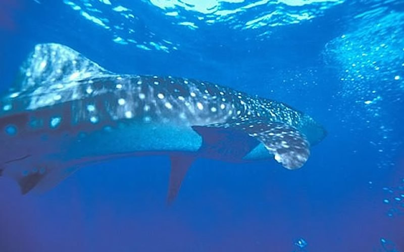 Whale Shark at Surface