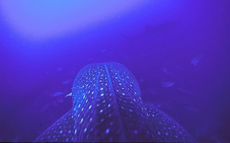 Whale Shark & Spawning Snappers