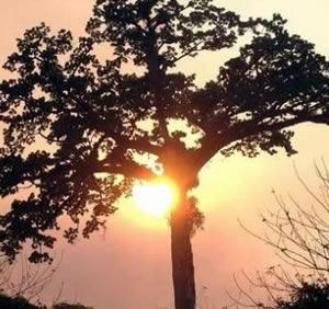 cotton-tree